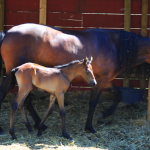 mangalarga marchador filly
