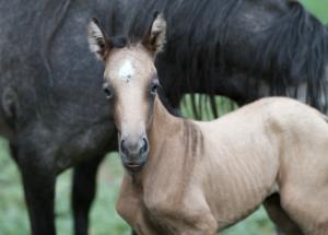 Mangalarga Marchador Foal
