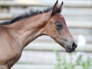 mangalarga marchador foal, marchador fillyt