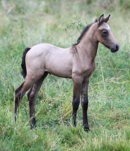 Mangalarga Marchador Foal, Marchador colt