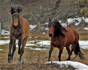 Xonada and her mom Regina  Mangalarga Marchador Mare and Foal