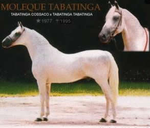mangalarga marchador stallion